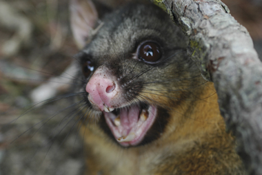 Python attacks baby possum     finds out Moms are tough