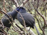 North Island kokako. Photo by Sarah King.