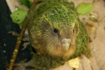 Kakapo. Photo by Sam O'Leary.