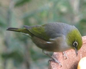 Waxeye. Photo: Herb Christophers
