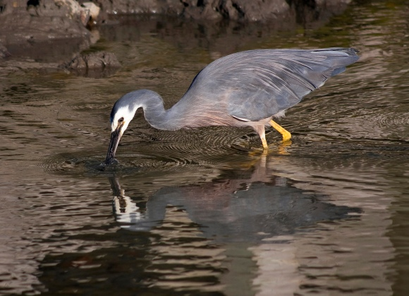 Mandy Hague's winning photo - heron eating shrimp.