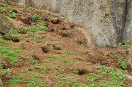 Petrel burrows on North Meyer Island.