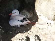 Red tailed tropic bird on nest.