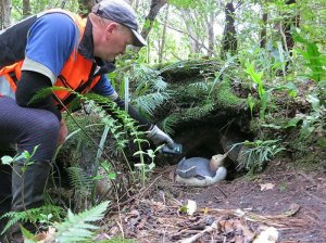 Dean checking a nesting bird for a transponder