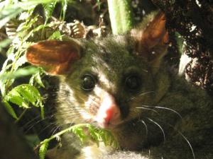 Possum in a tree.