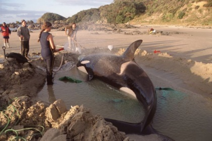 Thelma Wilson with a stranded orca.
