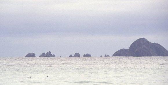 Yellow-eyed penguins at sea