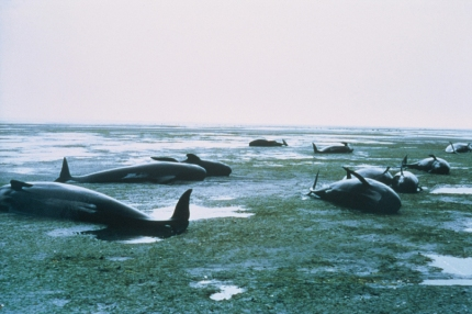 Unfortunately for many pilot whales, Farewell Spit is their final resting place.