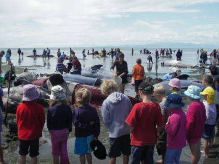 Whale strandings can attract many people, including volunteers willing to spend long and exhausting hours trying to refloat them.