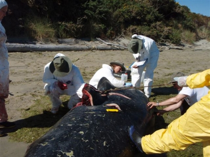 Scientific sampling following strandings can yield important scientific information.