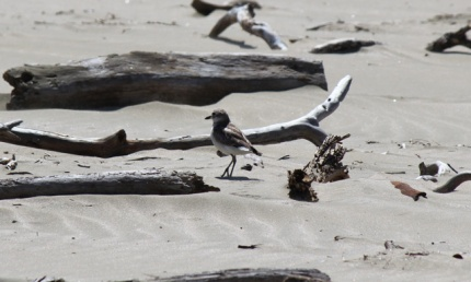New Zealand dotterel at Ahipara.