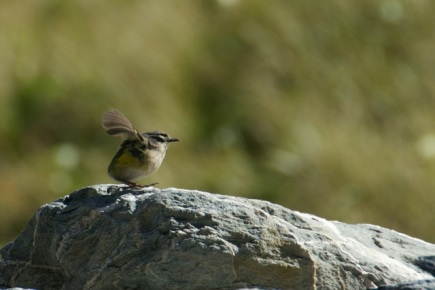 Male rock wren scolding us for intruding in his territory.