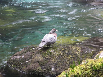 Whio sitting on a rock.