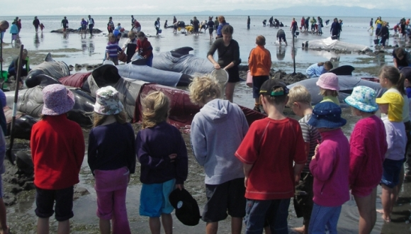 Many people helping to refloat whales at a stranding.