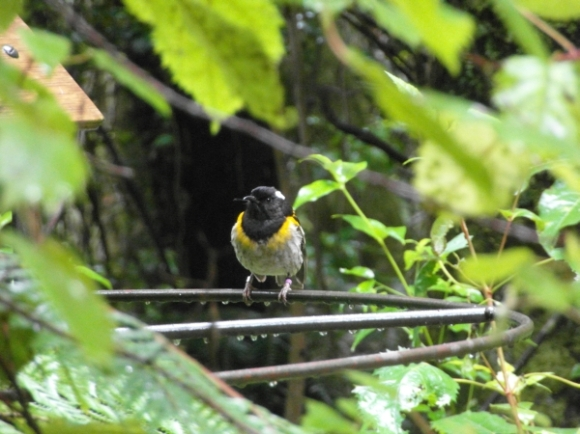 A hihi on a branch at Maungatautari Ecological Island.