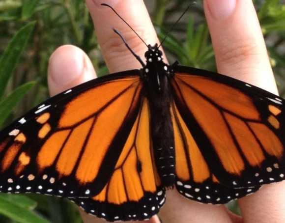 A monarch butterfly on Carisse's hand.