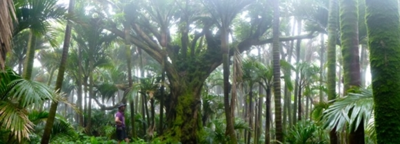 A five finger tree on Raoul Island.