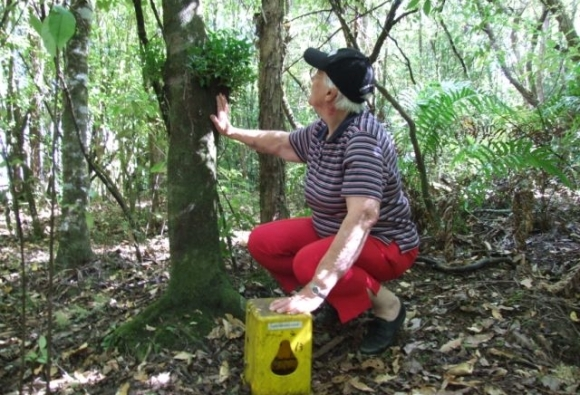 A volunteer setting a trap beside a mistletoe plant.