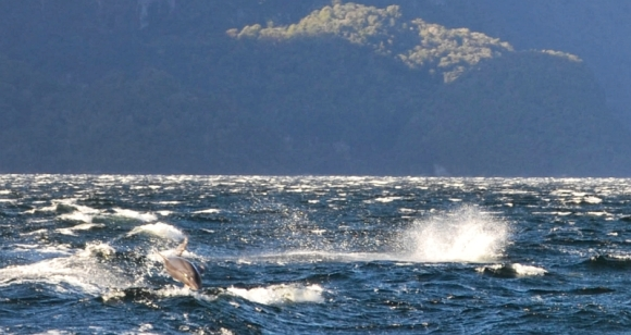 A dolphin playing in the wake of the boat in Doubtful Sound.