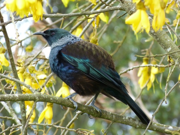 A tui sitting in a tree in Whirinaki Forest.