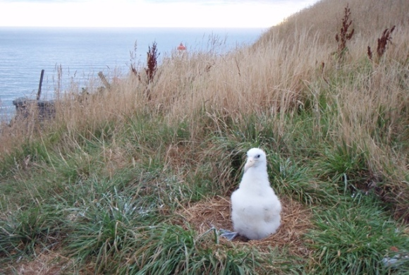 A three week old albatross chick in the nest at Taiaroa Head.