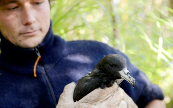 Fisherman Adam Clow holds a black petrel for banding.