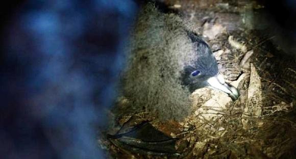 A black petrel inside its burrow.