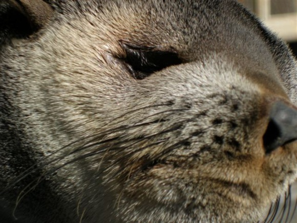 Close up photo of a NZ fur seal face.