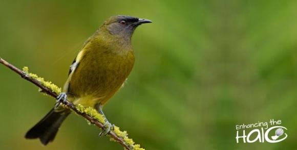 Bellbird. Adult male. Dunedin, 2009-7. Image © Craig McKenzie.