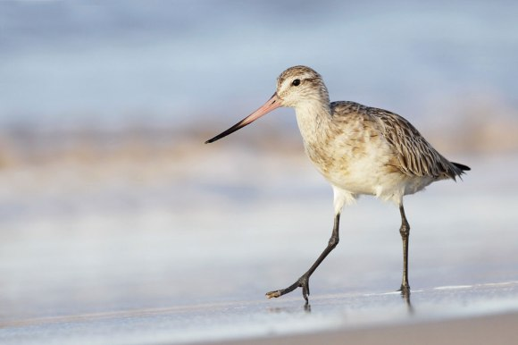 Bar-tailed godwit. Photo: Leo / Flickr (CC).