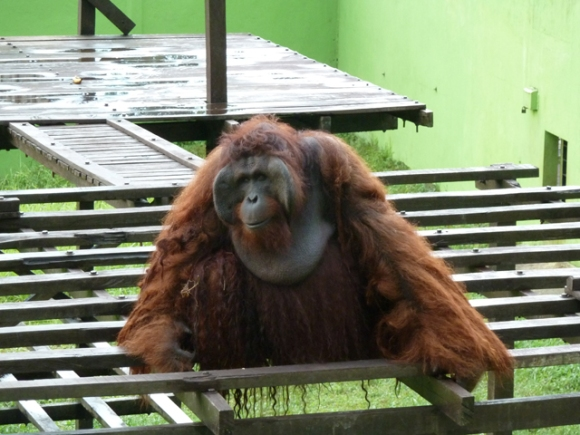 George the orangutan, at the Matang Wildlife Centre in Borneo.