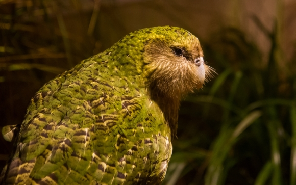 Sirocco on display at Zealandia Sanctuary. Photo: Janice McKenna.
