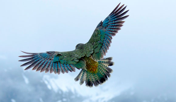 Kea 171 Conservation Blog