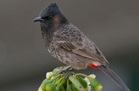 Red-vented bulbul.