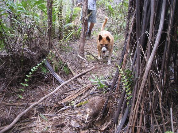 A dog in the forest learning to avoid kiwi. Photo: Cherry Beaver.