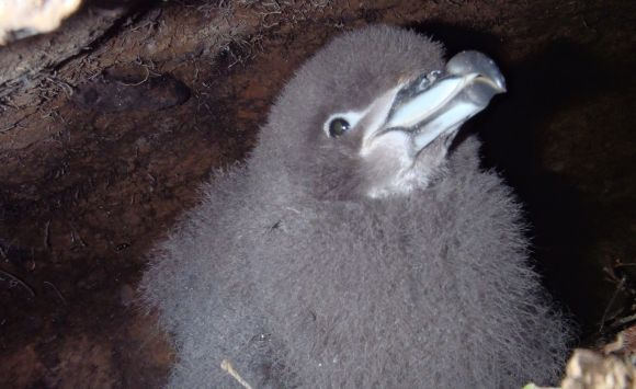 Westland black petrel chick in a burrow.