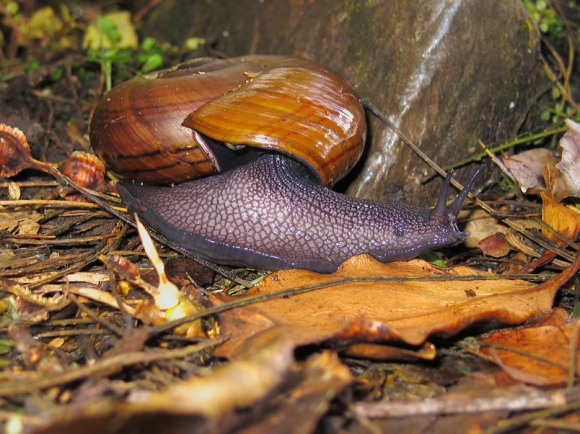 Powelliphanta snail. Photo: John Mason.