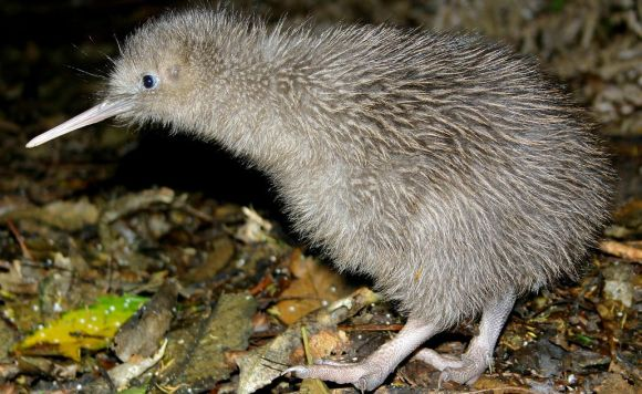 A young rowi kiwi amongst the bush. Photo: Ian Gill.