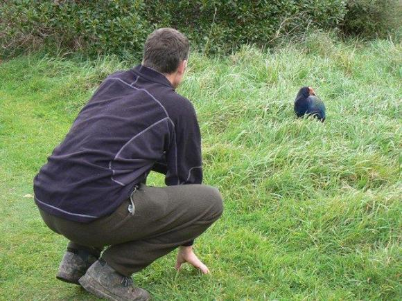 Ranger Shane with a takahē on Mana Island.