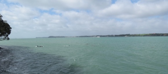 Two orca in Waitemata Harbour.