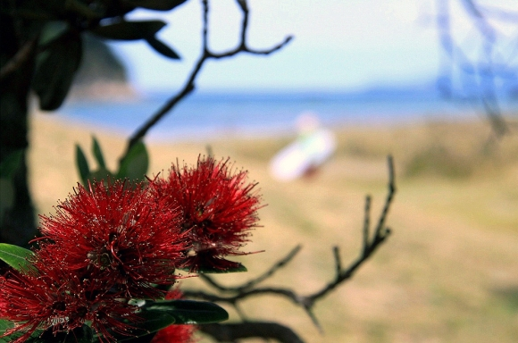 Pohutakawa tree in foreground. Beach and surf in background. Photo: Bill Harrison (CC BY 2.0)