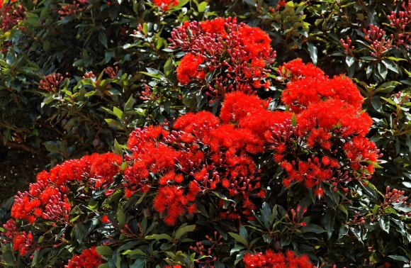 Rata tree in flower. Photo: Lance Andrews (CC BY-NC-ND 2.0).