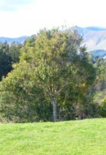 Pohangina Base rata tree.