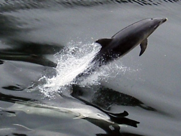 Dolphins in Doubtful Sound. Photo: Rich Levine | flickr | CC BY-NC-SA 2.0