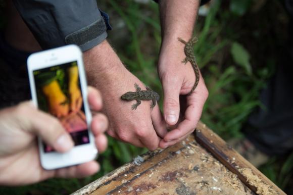 A gecko species on Kapiti Island.