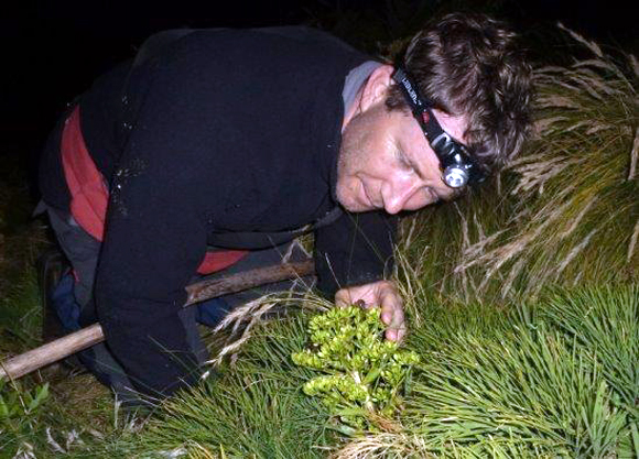 Mark Anderson searching for weevils.