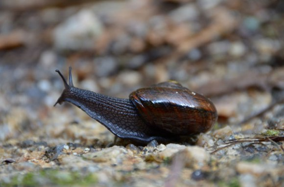 Giant snails/Powelliphanta. Photo: Kathryn and Stefan Marks | CC BY-NC-ND 2.0.
