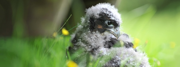 New Zealand falcon/kārearea chick.