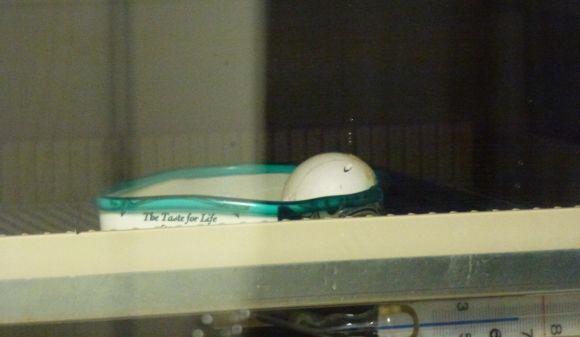 Kakapo egg in the incubator starting to hatch.