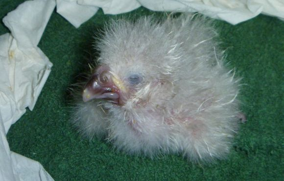 Baby kakapo after hatching.
